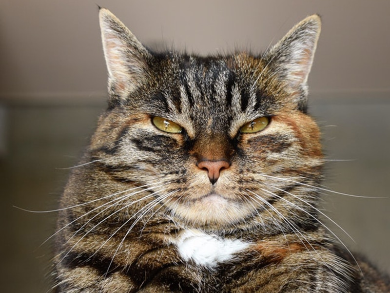 cat looks angry